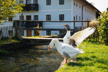 himmeblau-Blog-Gänse-vor-der-Mühle